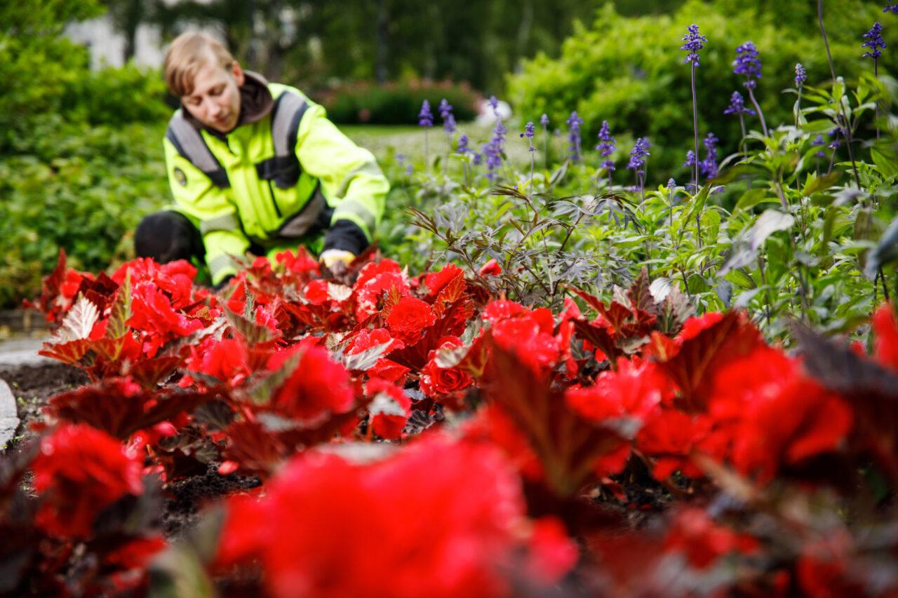 Eva-Lotta Dahllund rensar blommor i en rabatt.