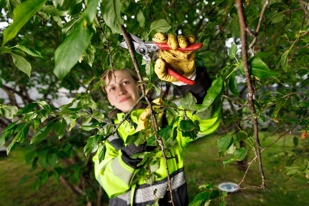 Eva-Lotta Dahllund i färd med att beskära ett träd.