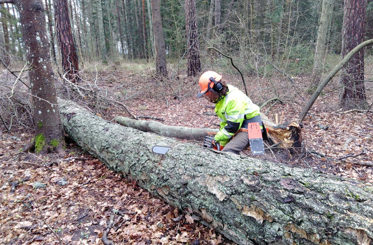 Metsuri Sami Laine sahaa puuta